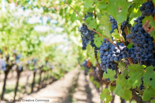 Descubra como plantar uva