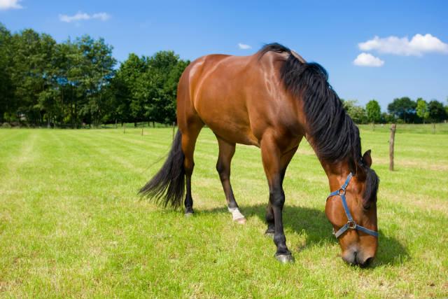 Cavalos não podem comer capim braquiária