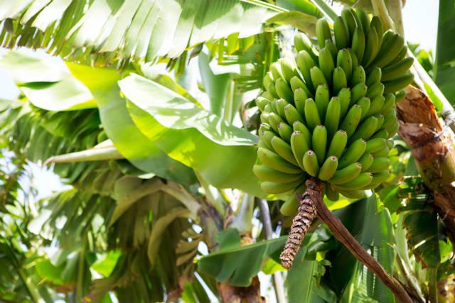 Município baiano é maior produtor de banana do Brasil