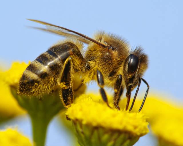 Abelhas exterminadas por agrotóxicos são problema global