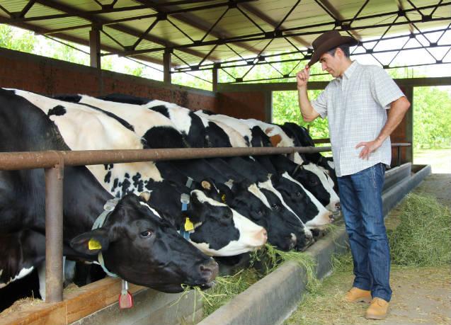 Bom manejo da vaca garante qualidade do leite