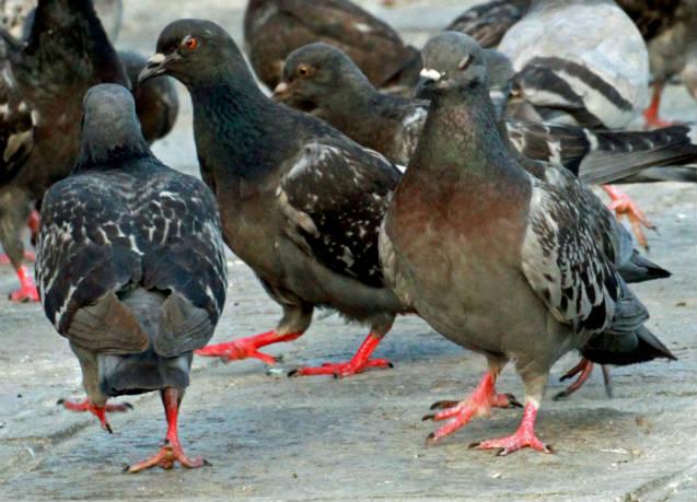 Dicas para criar pombos ornamentais