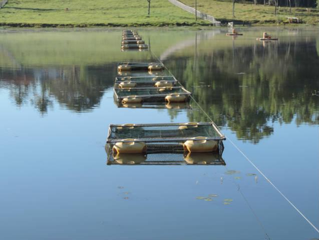 Dicas para manejo de tilápias em tanques-rede