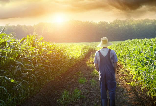 Silagem: diferenças entre milho safra e safrinha