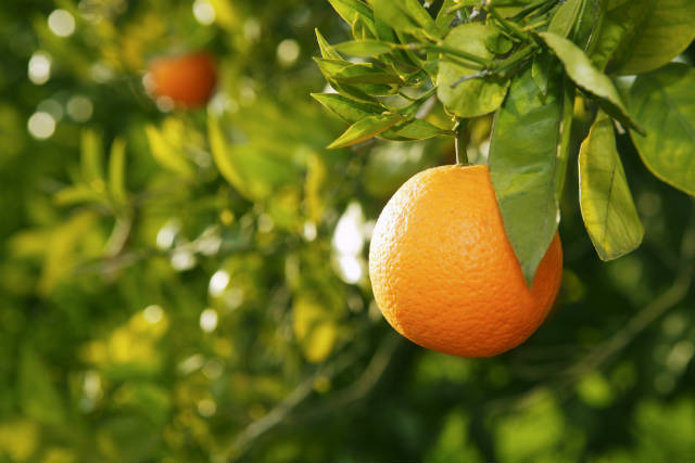 Esterco suíno vira biofertilizante para laranjas