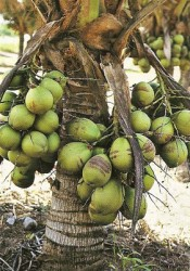 Cultivo de coco anão para consumo de água