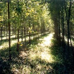 Como cultivar eucalipto em pequenas propriedades
