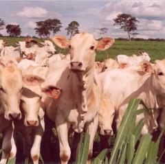 Engorda bovina em pasto