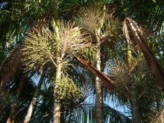 Plantio de Palmeira Real para produzir palmito
