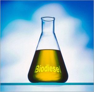 Cultivo de Pinhao Manso para fabricar biodiesel