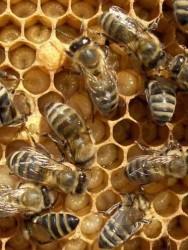 Produção de pólen e geléia real