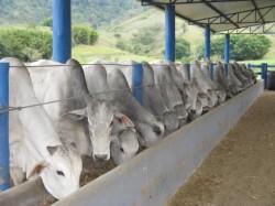 Nutrição de gado de corte