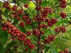 Cultivo de café conilon