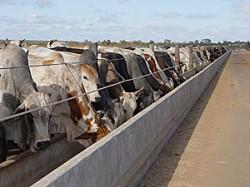 Cana uréia na alimentação de bovinos