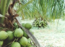 Como produzir mudas de coqueiro anão e híbrido