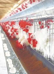 Criação de galinhas poedeiras