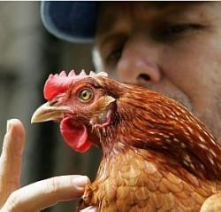 Criação orgânica de frangos de corte e aves de postura