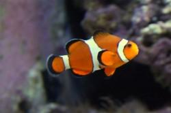 Produção de peixes ornamentais