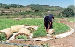 Alimentação animal com milho hidropônico