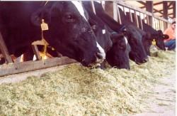 Estratégias para alimentação de gado de leite na seca
