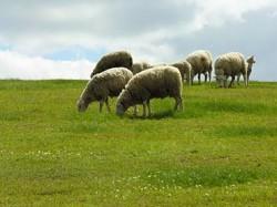 Formação e manejo de pastagem para ovinos