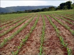 Formação de pastagens com braquiária em consórcio com milho
