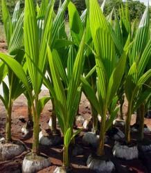 Como é feita a irrigação do coqueiro anão