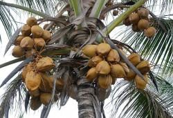 Controle de doenças e pragas do coqueiro