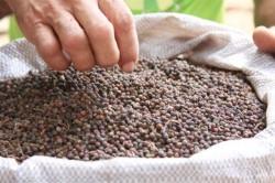 Produção e processamento de pimenta-do-reino