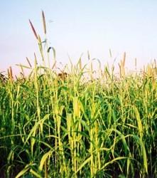 Produção de sementes forrageiras