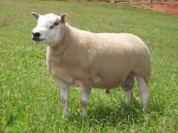 Raças e cruzamentos de ovinos
