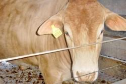 Rastreabilidade de bovinos de corte