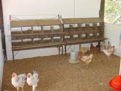 Criação de Frango e Galinha Caipira - Alimentação das Galinhas