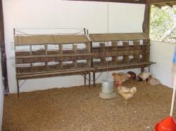 Criação de Frango e Galinha Caipira - Instalações