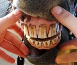 avaliação dos dentes de equino