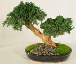 Essa árvore tem dois troncos, nascidos de uma mesma base, um predominando em relação ao outro