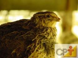o criador deve adquirir uma máquina própria para a incubação de ovos de codorna, com controle de temperatura, umidade e ventilação