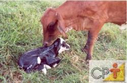 O feto ganha metade de seu peso nos últimos três meses de gestação da vaca