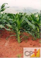 Para plantios antecipados recomenda-se o emprego de cultivares precoces, pois estes estão mais adaptados às condições climáticas características deste período
