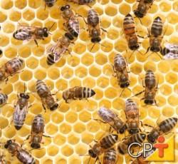 As abelhas coletam a própolis usando suas mandíbulas e o seu primeiro par de patas