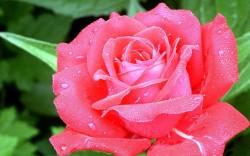 Rosa. Foto: Reprodução