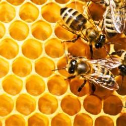 Existem muitos predadores que podem destruir uma colmeia produtora de mel