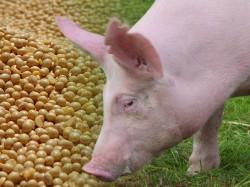 Alimentação Alternativa para Suínos - Grãos