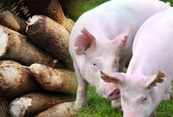 Alimentação Alternativa para Suínos - Tubérculos e Raízes Tuberosas