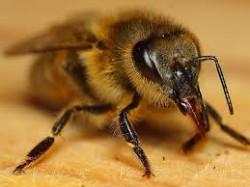 O veneno da abelha estimula as cápsulas adrenais que induzem um aumento da taxa de cortisona no plasma sanguíneo