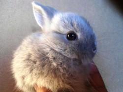 O corpo do coelho Anão Holandês tem uma forma muito curta e redonda