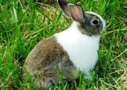 Os coelhos holandeses são brancos com outras cores como: preto, chocolate, cinza, azul, aço