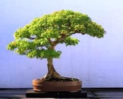 O bonsai é uma arte japonesa simples que procura reproduzir em um pequeno vaso como a árvore seria crescendo no solo. Foto: Reprodução