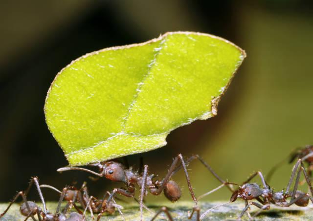 Como acabar com as formigas cortadeiras