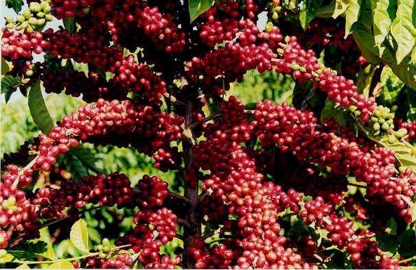 Qualidade do café: aspectos favoráveis